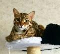 Потерялся бенгальский кот