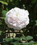 Роза кустовая, Бедренцеволистная, Сосново