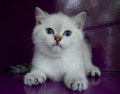 Олли и Оллон Британские котята-Голубоглазки