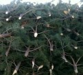 Сосны и елки из питомника в розницу, Санкт-Петербург