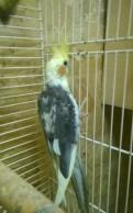 Попугай корелла, Санкт-Петербург