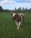 Продаётся айрширская корова