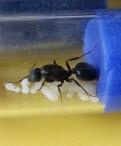 Матки муравьёв
