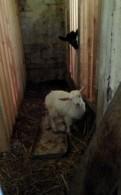 Овцы, ягнята, Лузгановская и Романовская порода