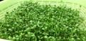 Микрозелень для здорового питания и красоты