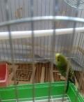 Попугай, Дубровка