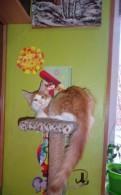 Мейн кун. котенок. красный биколор