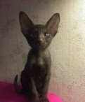 Шоколадный ориентальный котенок, Агалатово