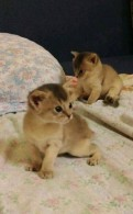 Абиссинские близняшки