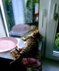 Вязка бенгальской кошки