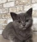 Котёнок, британская короткошёрстная
