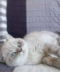 Котёнок экзот, Санкт-Петербург