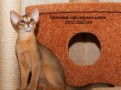 Солнечный абиссинский котенок