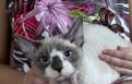 Девон рекс, котик голубоглазый, Парголово