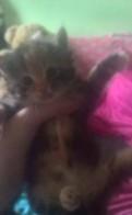 Котята сибирской кошки, Синявино