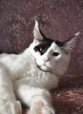 Шикарный котенок мейн-кун. Мальчик. Очень крупный