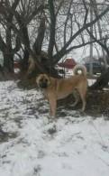 Высоко породные щенки Армянского волкодава-гампра, Сосново