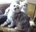 Шотландские котята с мраморным рисунком