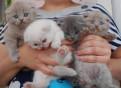 Породные вислоухие и прямоух котята разных окрасов