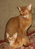 Абиссинские котята, Новое Девяткино