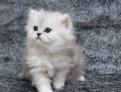 Замечательный британский котенок