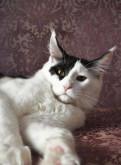 Шикарный котик мейн-кун. Очень крупный. Документы