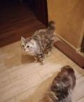Продаются котята курильского бобтейла