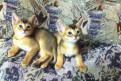 Абиссинские котята (мальчики) дикий окрас, Павлово