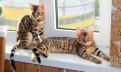 Бенгальские котята готовы к переезду