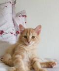 Котята редкой породы кАрельский бобтейл, Тосно