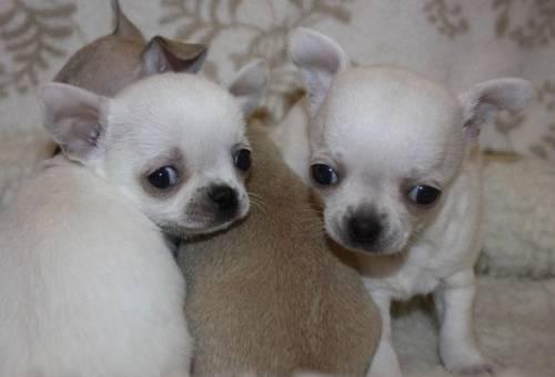 Красивые щенки чихуахуа от Чемпионов