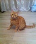 Котик рыжий 7 мес кастрированный ищет хозяев