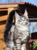 Свободные коты мейн кун готовые к переезду