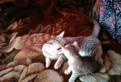 Котенок порода Шотландская