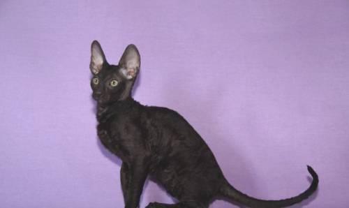 Черные котята Корниш Рекс