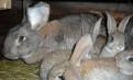 Крольчата фландеры, Луга