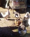 Семья гусей порода серый крупный