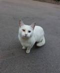 Белая кошечка с голубыми глазами ищет дом
