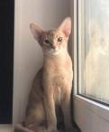 Абиссинский котёнок фавн, Красный Бор