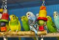 Лучшие Волнистые попугаи для Вас. Птенцы