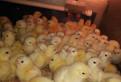Цыплят бройлеров