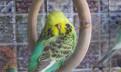 Выставочный волнистый попугай, Чех, ввп