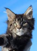 Готов к переезду кот дикого окраса)