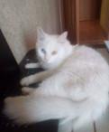 Кошка Мейн кун метис 1 год