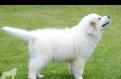 Собака - охранник, компаньон, телохранитель, Красный Бор