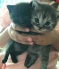 Продаются британские котята. Три мальчика и одна д, Кингисепп