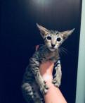 Котёнок ориентал, Любань