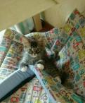 Продаю котенка, Санкт-Петербург
