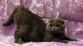 Вислоухий голубой котик вязка