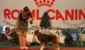 Австралийская Овчарка щенки, Коммунар